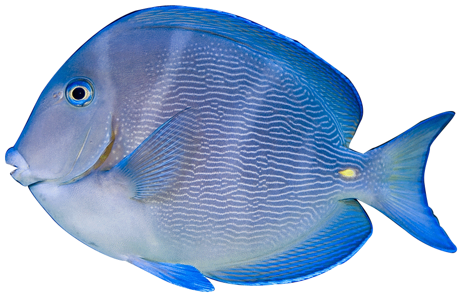 Blue Tang Chevron Tang Clown Triggerfish French Angelfish Parrot.