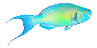 Parrotfish Isolated Stock Photos, Images, & Pictures.