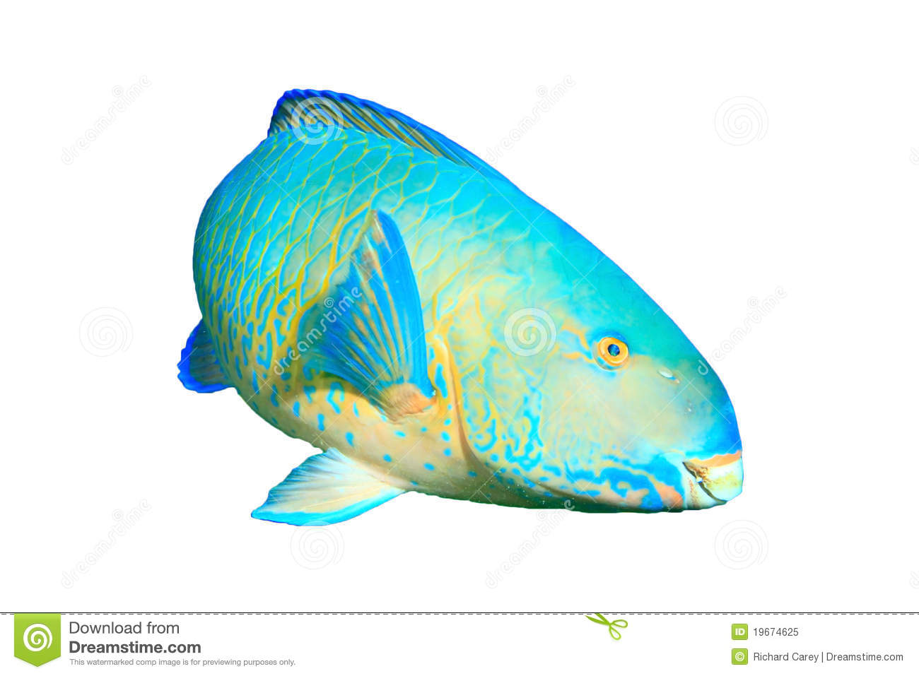 Parrotfish Royalty Free Stock Photo.