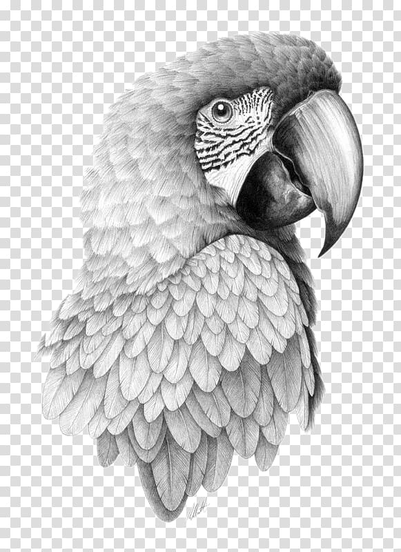 Gray parrot illustration, Parrot Bird Drawing Pencil Sketch.