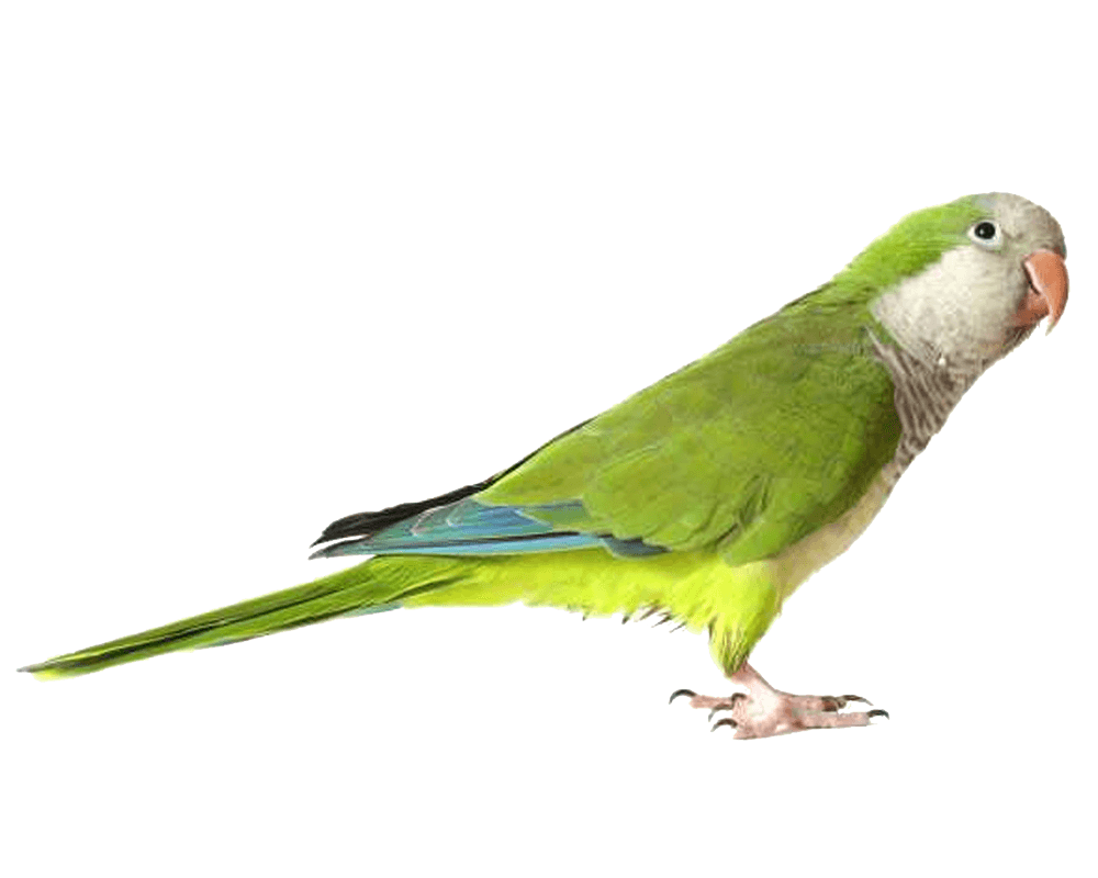 Green Parrot PNG Image.