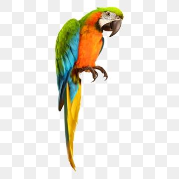Parrots PNG Images.