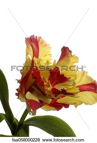 Pictures of Texas flame tulip (or parrot tulip or flaming parrot.