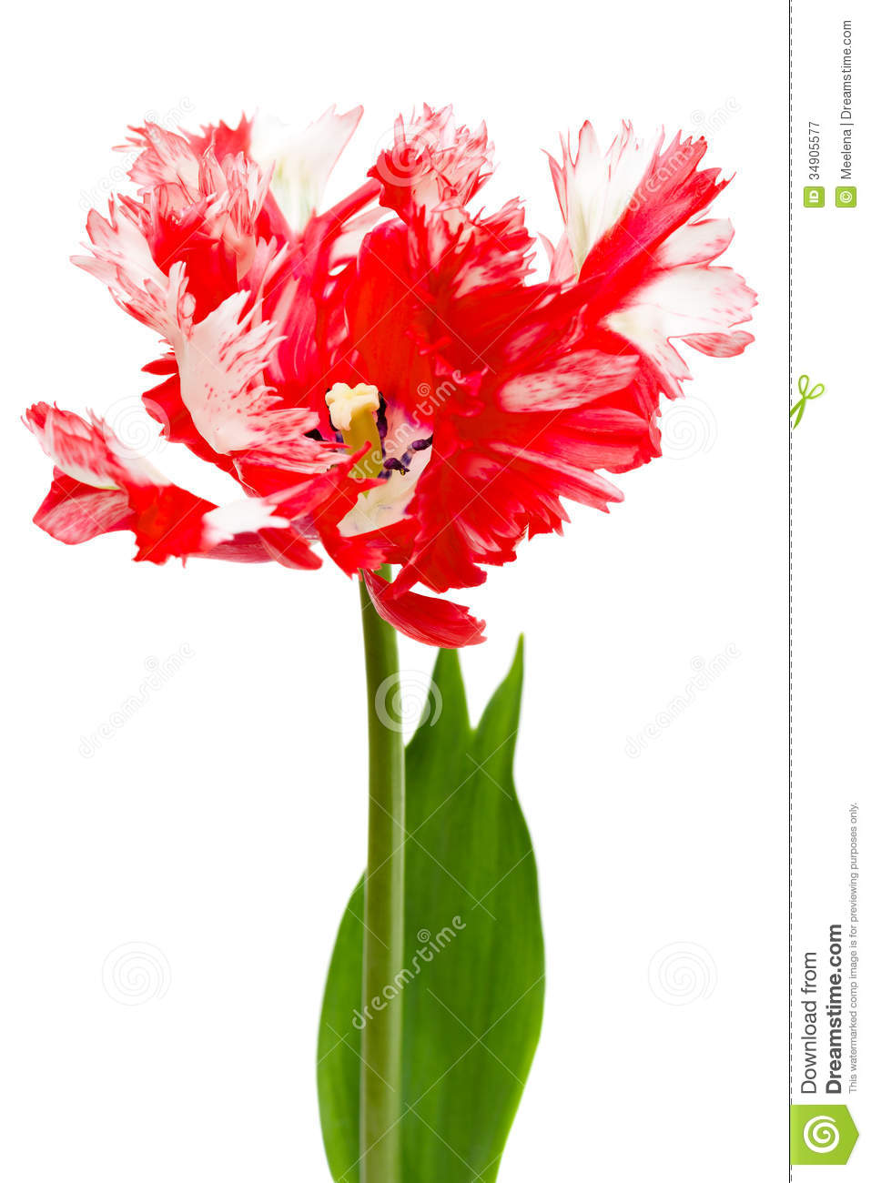 Red And White Parrot Tulip Royalty Free Stock Photography.