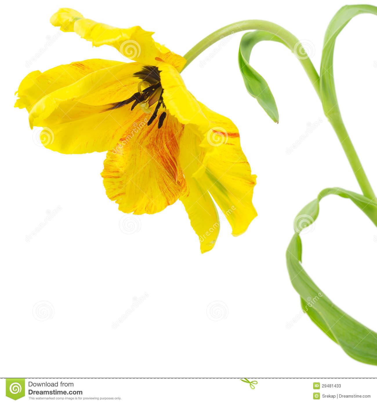 Yellow Parrot Tulip Stock Photos.