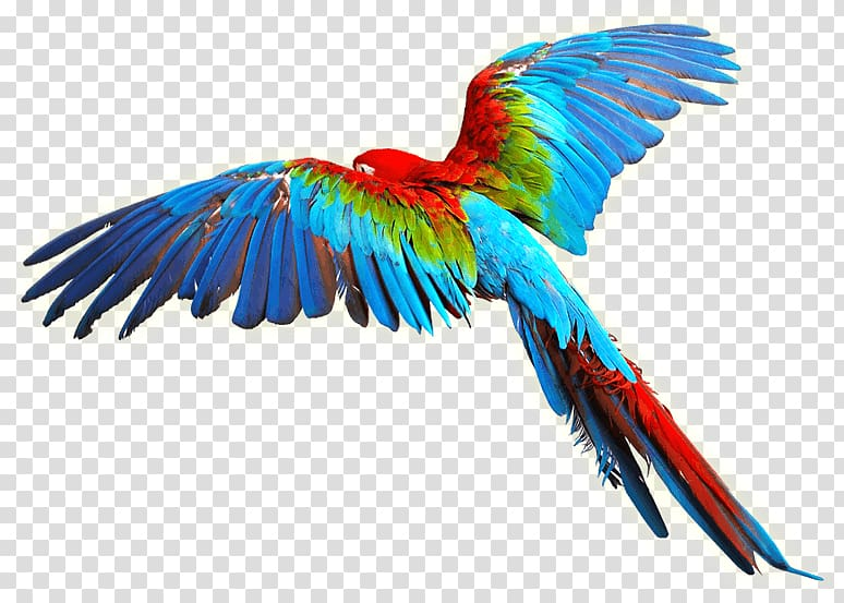 Parrot Bird Scarlet macaw , colorful Wings transparent.