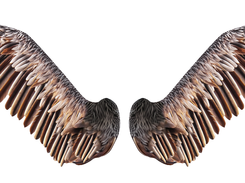 Bird Wings Png & Free Bird Wings.png Transparent Images.
