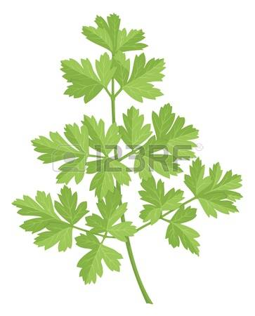 6,106 Parsley Stock Vector Illustration And Royalty Free Parsley.
