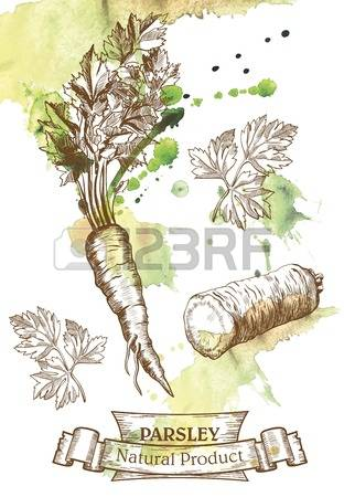 252 Parsley Root Stock Illustrations, Cliparts And Royalty Free.