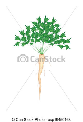 Clip Art Vector of Fresh Green Parsley Root on White Background.