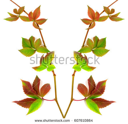 Parthenocissus Quinquefolia Stock Images, Royalty.