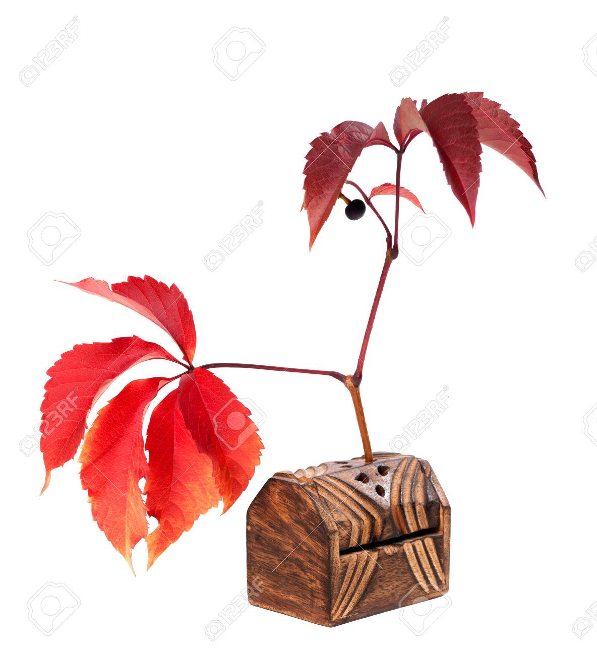 Autumn Grapes Leaves With Berry. Parthenocissus Quinquefolia.
