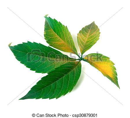 Stock Photography of Yellowed grapes leaf (Parthenocissus.