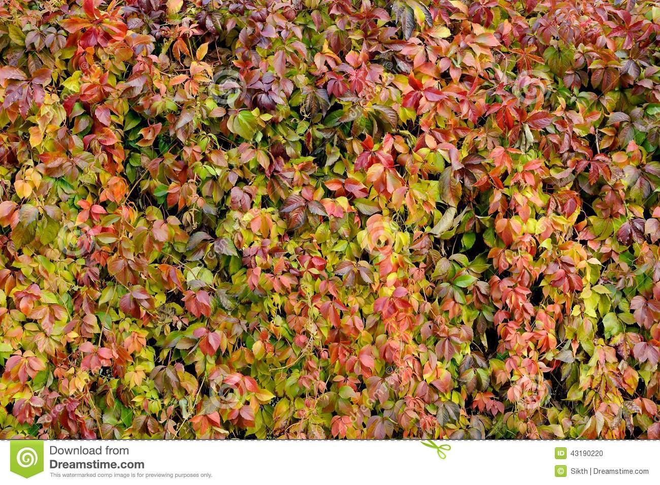 Parthenocissus Quinquefolia Or Virginia Creeper Changing Color In.