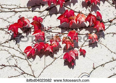 """Stock Photo of """"Red leaves of Virginia creeper (Parthenocissus."""