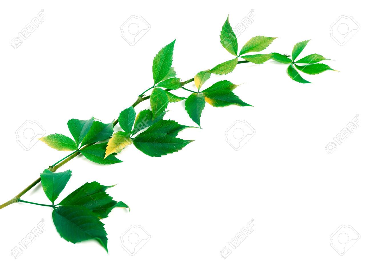 Green Twig Of Grapes Leaves (Parthenocissus Quinquefolia Foliage.