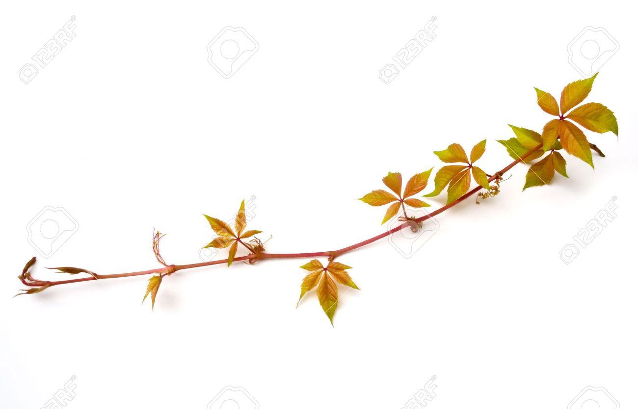 Virginia Creeper Vine (Parthenocissus Quinquefolia) Isolated.