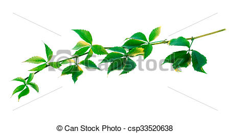 Stock Photos of Green twig of grapes leaves (Parthenocissus.