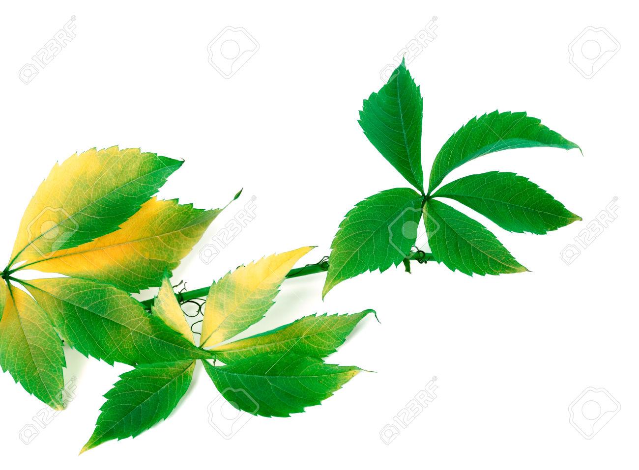 Sprig Of Grapes Leaves (Parthenocissus Quinquefolia Foliage.