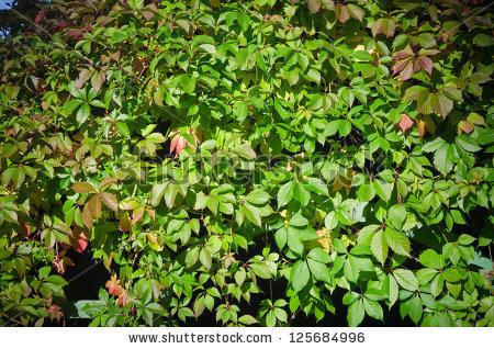 Parthenocissus Quinquefolia Stock Photos, Royalty.