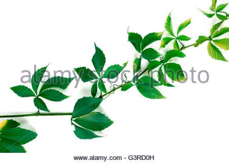 Quinquefolia Stock Photos & Quinquefolia Stock Images.