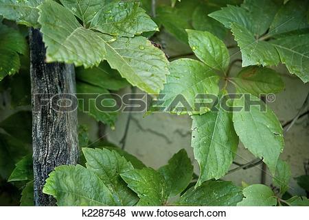 Pictures of VIRGINIA CREEPER (Parthenocissus quinquefolia k2287548.