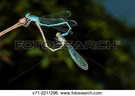Stock Images of Big Bluet Enallagma durum Mating on Virginia.