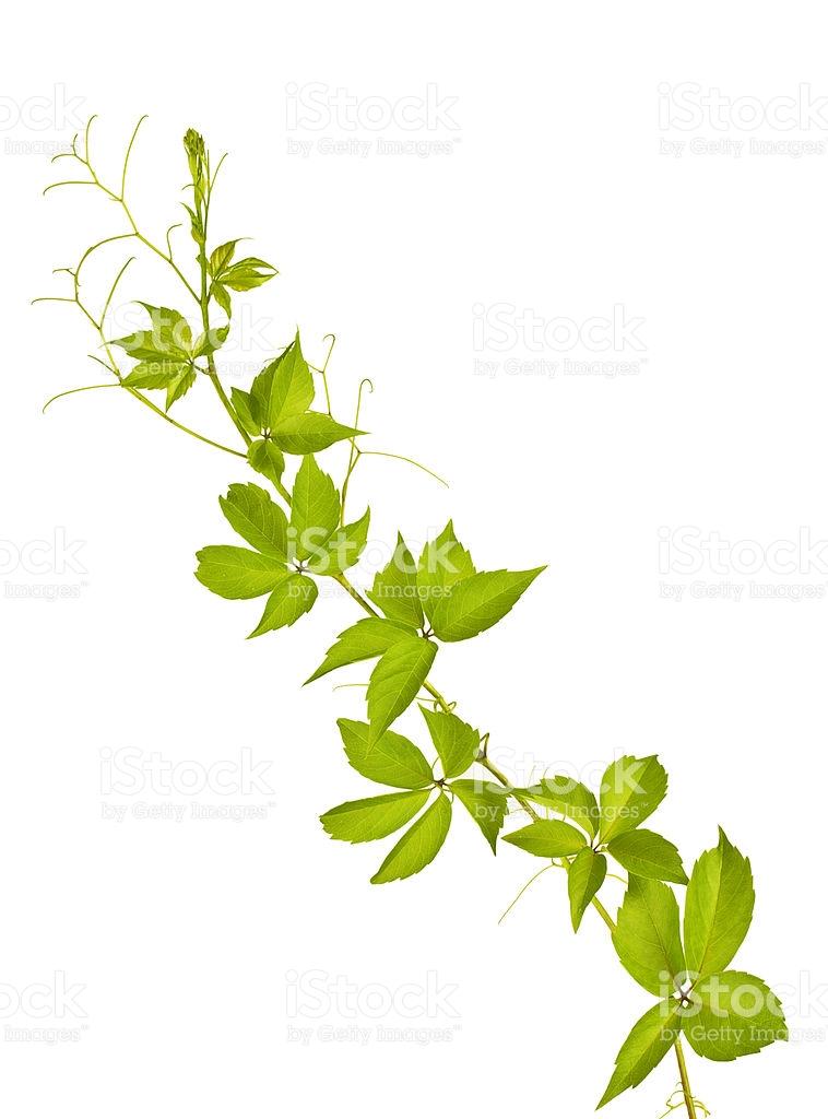 Parthenocissus Quinquefolia stock photo 175442344.