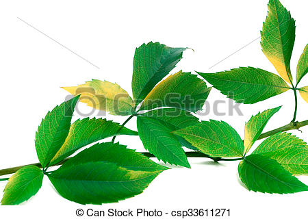 Picture of Green twig of grapes leaves (Parthenocissus.