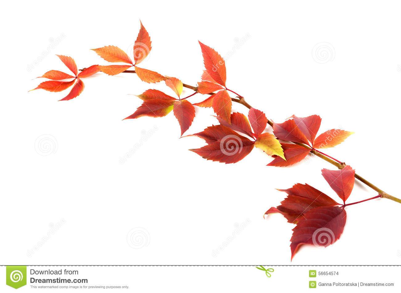 Autumnal Twig Of Grapes Leaves (Parthenocissus Quinquefolia Foli.