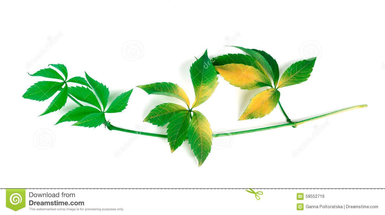 Yellowed Branch Of Grapes Leaves (Parthenocissus Quinquefolia Fo.