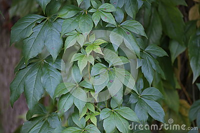 Parthenocissus Vitacea, Also Known As Thicket Creeper Stock Photo.