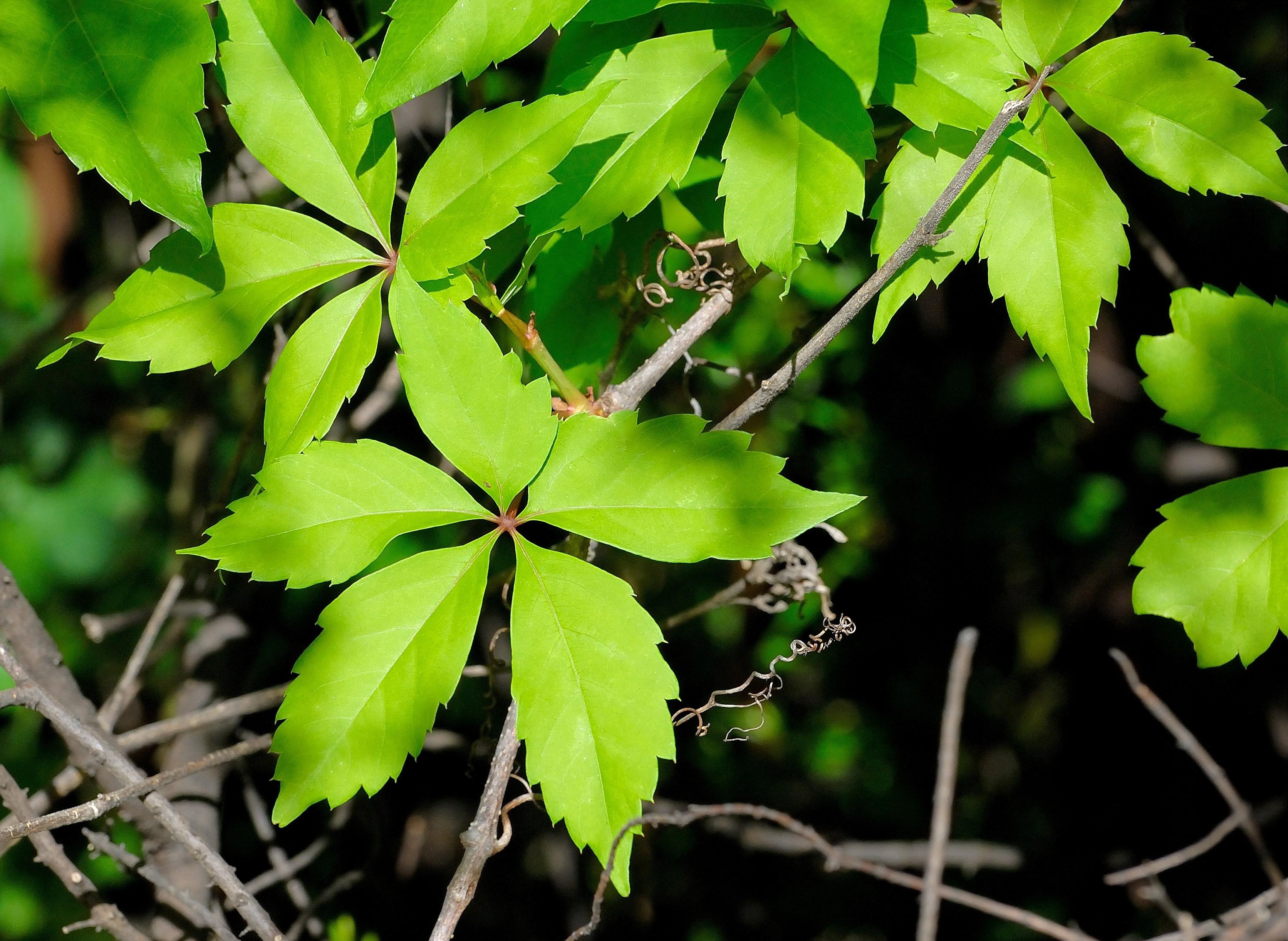 Parthenocissus vitacea.