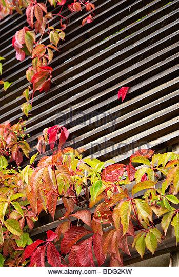 Parthenocissus Vitacea Stock Photos & Parthenocissus Vitacea Stock.