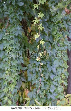Vitaceae Stock.