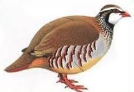 Free Partridge Clipart.