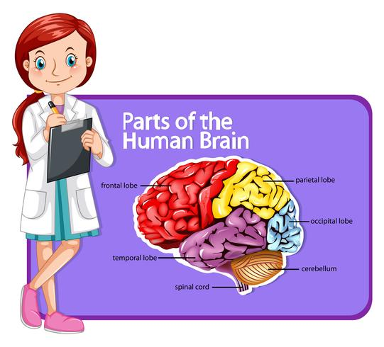 Doctor and parts of human brain.