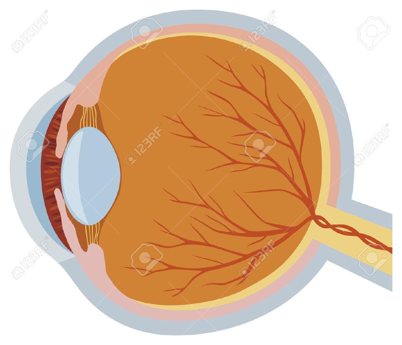 Eye Anatomy Vector Illustration Anatomy Of The Eye, Illustration.