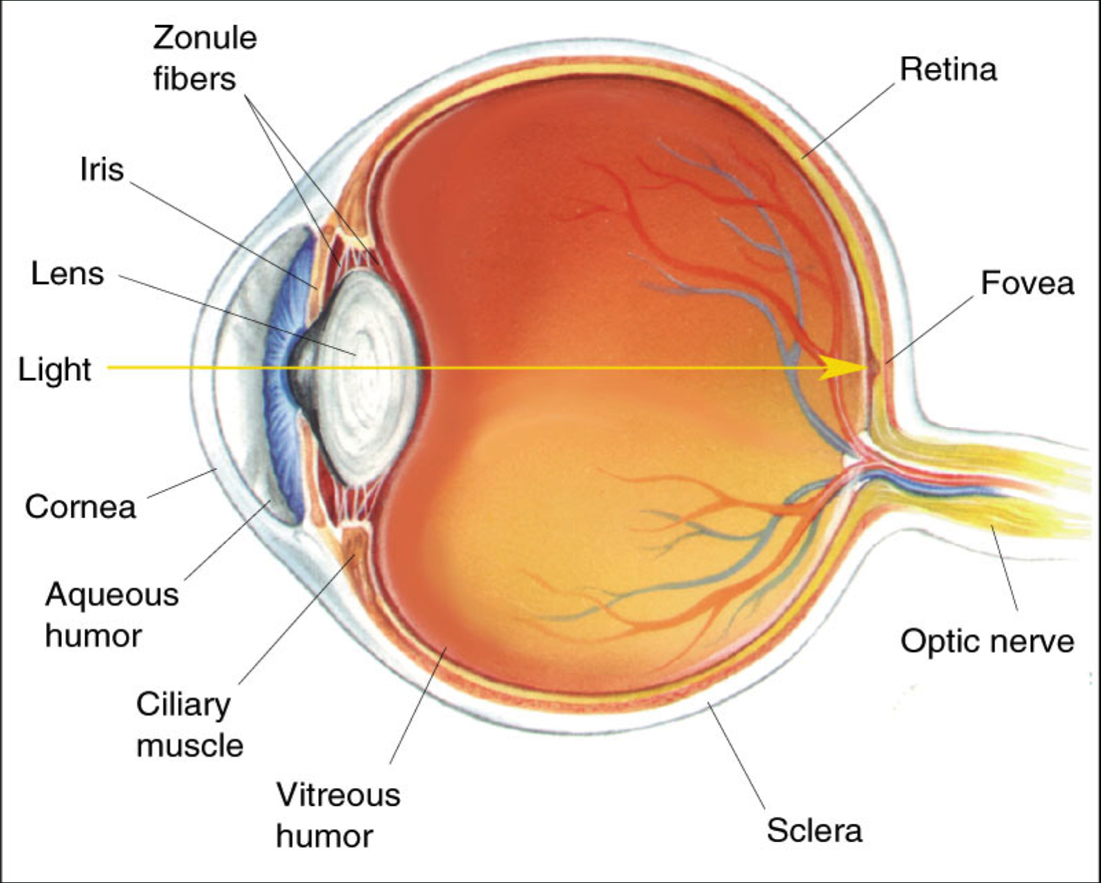 Human Eye Structure Without Label Parts Of The Eye Clipart.