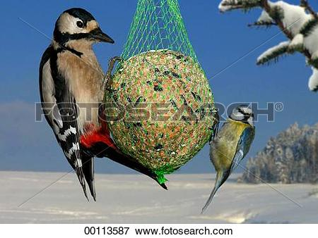 Picture of Dendrocopos, Dendrocopos major, Juniors, Parus, Parus.