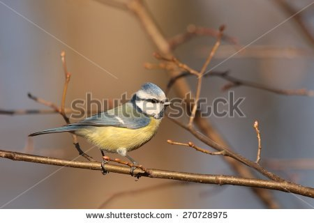 Parus Caeruleus Stock Photos, Royalty.