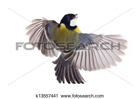 Stock Photography of Great Tit, Parus Major flight k13557441.