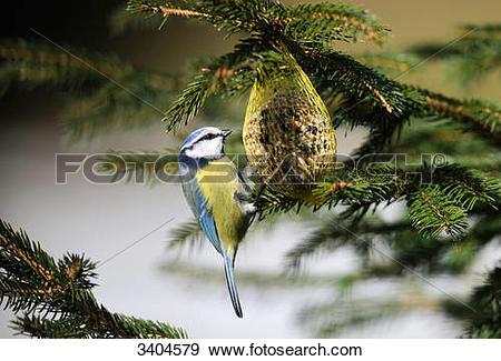 Stock Photograph of Blue tit (Parus caeruleus) eating, Franconia.