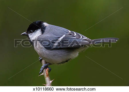 Stock Photography of Grey Tit (Parus major) x10118660.