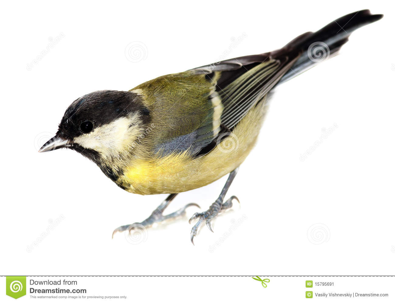 Great Tit, Parus Major Stock Image.