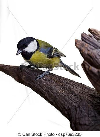 Stock Images of Great Tit, Parus Major 2.