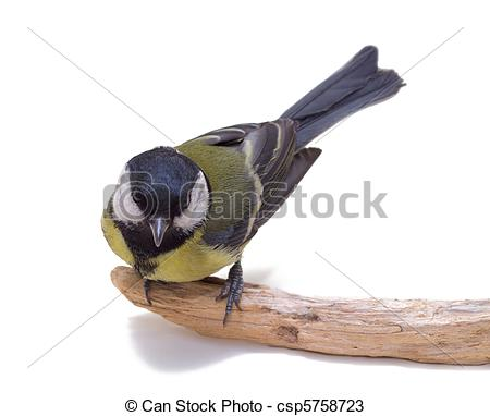 Stock Photos of Great Tit, Parus Major.
