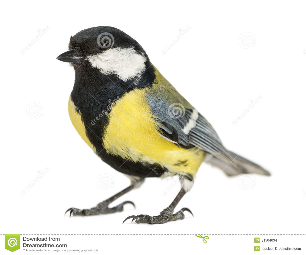 Male Great Tit, Parus Major Stock Photo 31504034.