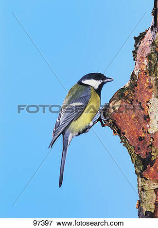 Picture of Great tit at tree hole / Parus major 97397.