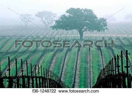 Stock Photo of Morning fog over vineyard rows and oak tree in.